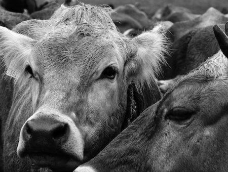 Transumanza 2019: 300 mucche in viaggio dalla Puglia al Molise