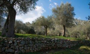 Scopri i segreti dell'olio molisano nel Parco dell'Olivo di Venafro